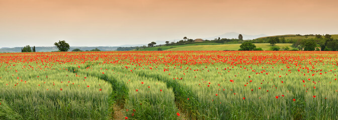spectacular Tuscany spring landscape with red poppies in a green wheat field, near Monteroni d'Arbia, (Siena) Tuscany. Italy, Europe.