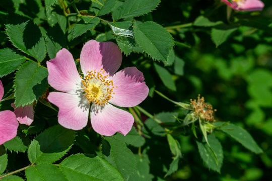 Wild roses blossom
