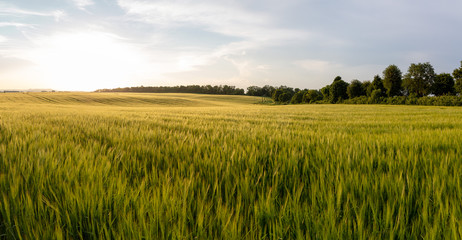 Zelfklevend Fotobehang Cultuur Beautiful crop field. summer sunset panorama around