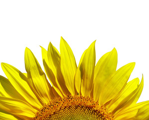 Wall Mural - sunflower isolated over white background