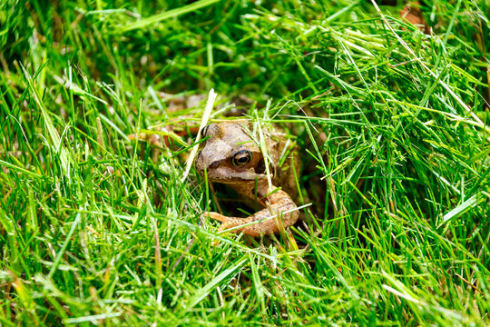 Common frog in some grass on a sunny day