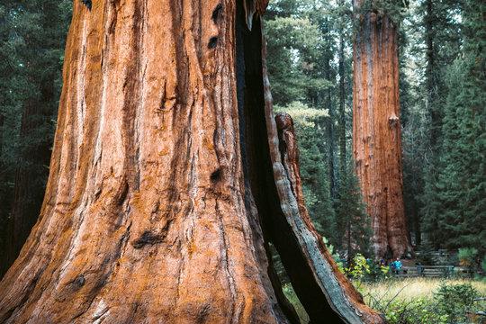 Giant sequoia trees in Sequoia National Park, California, USA