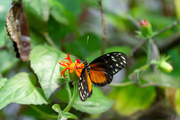 Black, Orange and White Spotted Butterfly Sipping Nectar