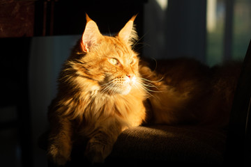Red Maine Coon cat sits on a chair in the rays of the setting sun. The sunbeam illuminates the face. Close-up. Fototapete