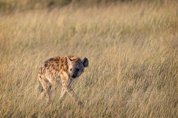 Garden Poster Hyena Hyena Walking Through Grasslamds in Kenya