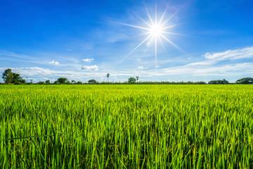 Photo sur Aluminium Pres, Marais Beautiful green cornfield with fluffy clouds sky background.