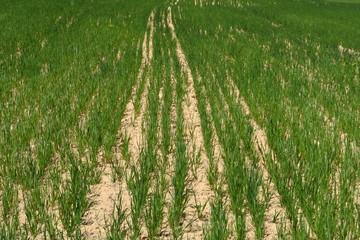 Jeune champ de blé