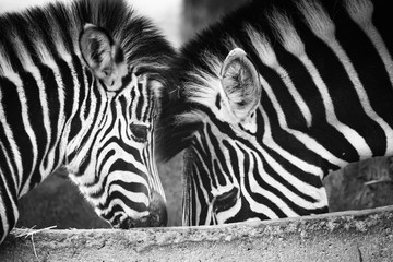 Aluminium Prints love and care between mother and child zebra