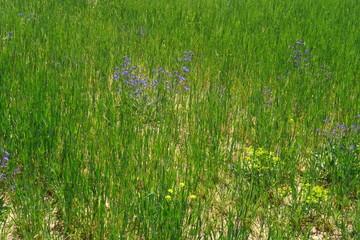 champ de blé avec fleurs sauvages.