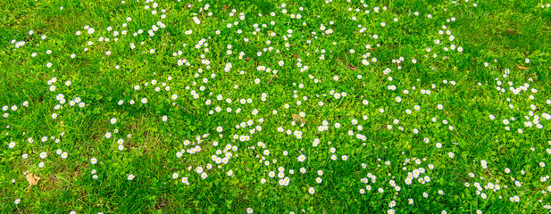 Widespread flowering daisy field background.