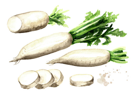Daikon radish set. Graphic design elements. Watercolor hand drawn illustration, isolated on white background