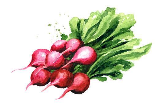 Fresh red radish. Watercolor hand drawn illustration, isolated on white background