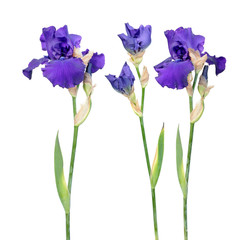 Foto auf AluDibond Iris Set of blue iris flowers with long stem and green leaf isolated on white background. Cultivar from Tall Bearded (TB) iris garden group