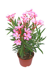 Fototapeta Nerium oleander obraz