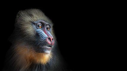 Poster de jardin Singe Portrait of colorful curious African mandrill, an alpha male at black background