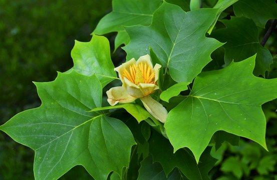 a flower of Liriodendron tulipifera