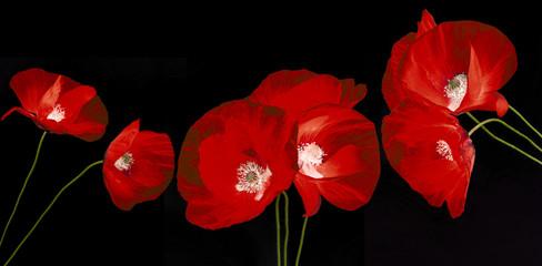 poppy flower - common poppy - Papaver rhoeas