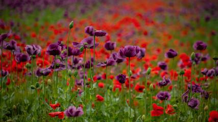 Lila und rotes Mohnblütenfeld