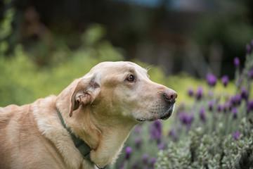 Side portrait of a cute Labrador retriever dog outside
