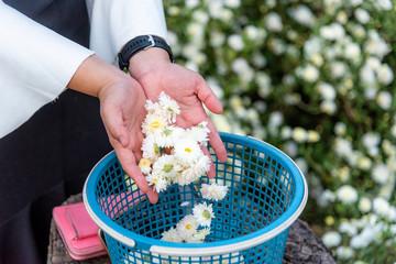 White flowers Chrysanthemums on girl hand