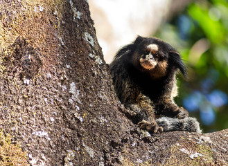 mico no parque