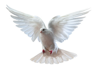 A free flying white dove isolated Wall mural