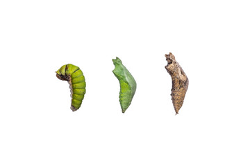 Metamorphosis from caterpillar to pupa isolated for white background. Life cycle of butterfly from caterpillar with clipping path.