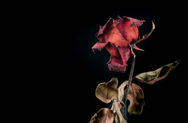 Roses withered on black ground. Fototapete