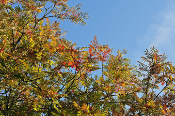 leaves of a mountain ash changing colors in September