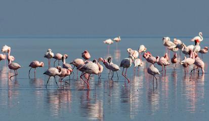 flock of birds african pink flamingo walking on the blue salt lake of Namibia