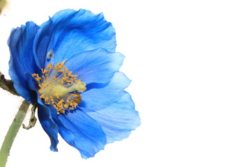 Himalayan blue poppy Wall mural