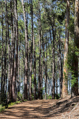 Big trees at the hiking trail in the Tablemoutain National Park, Cape Town, South Africa.