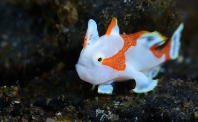 Amazing underwater world - Warty frogfish (Clown frogfish) - Antennarius maculatus. Tulamben, Bali, Indonesia
