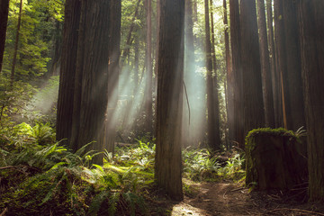 Fog and light rays in the redwood forests of Northern California
