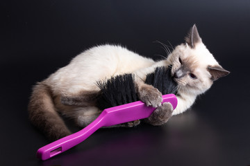 Thai light kitten playing with a large bright purple brush for cleaning