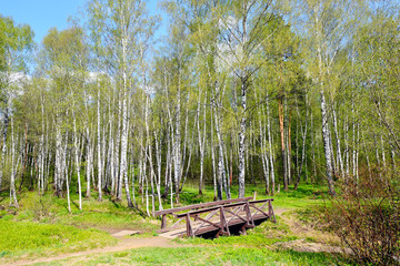 The wooden bridge in the birch forest.