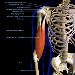 Male Biceps Muscle and Shoulder Ligaments Chart Labeled on Black Background