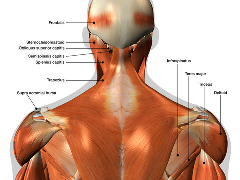 Labeled Anatomy Chart of Neck and Back Muscles on White Background