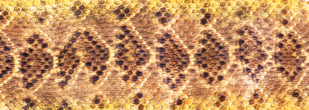 Texas Diamondback Rattlesnake.