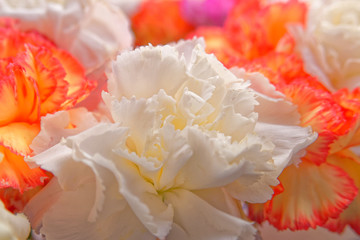 soft and airy carnation flowers close up