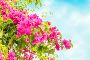 Pink bougainvillea  flowers on background of blue sky.