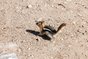Baby Chipmunk walking on brown dirt with pebbles and rocks.