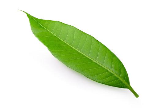 Mango leaf isolated on a white background