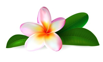 plumeria flower. frangipani with green leaves