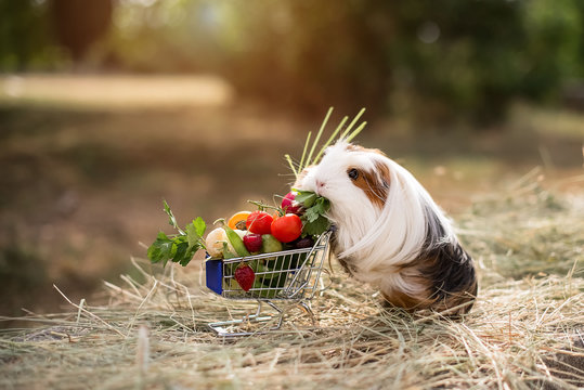 guinea pig and fruits