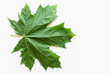 Large green maple leaf on white background. Photo with copy blank space.