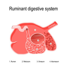 ruminant digestive system. four compartments of Ruminants' stomach
