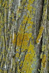 closeup rough tree bark green/yellow moss texture
