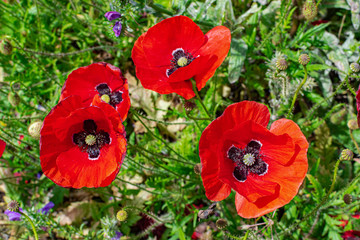 Common poppy flowers (Papaver rhoeas), blooming with sunlight, with green vegetation background