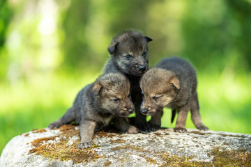 Two weeks old cubs of grey wolf